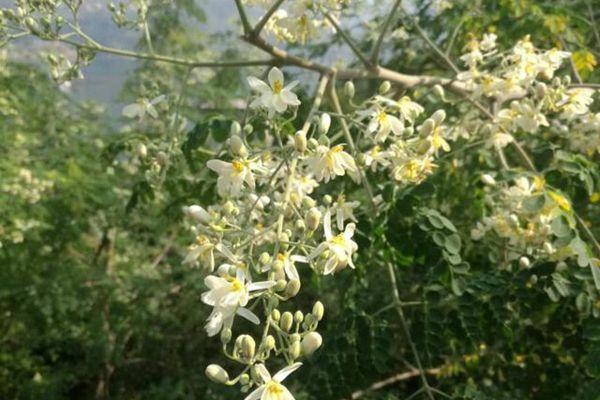 光照湖畔盛开的辣木花