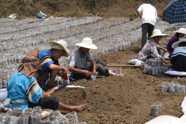 群众正在培育辣木苗