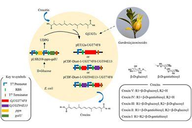 中国医科院宋经元研究组利用微生物细胞工厂生产出五种西红花苷