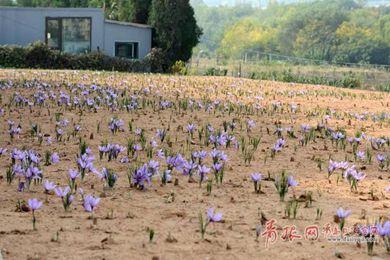 时隔30年后藏红花回归山东青岛,首个种植基地落户北宅!