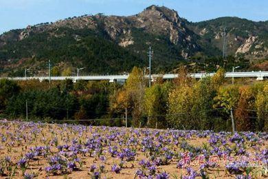 山东省青岛市首个藏红花种植基地落户北宅