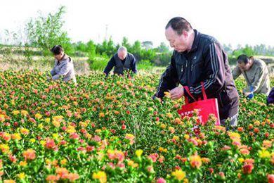 藏紅花在山西萬榮試種成功?假的!明明是草紅花