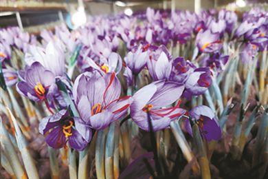 湖北省恩施州利川市諸天村綻放來自杭州的藏紅花