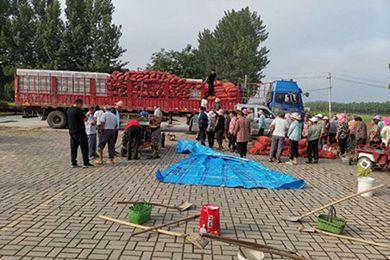 河南蘭考藏紅花種植培育基地建成 首期種植面積達300畝