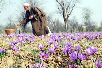 克什米爾藏紅花獲地理標志認證 預計會漲價