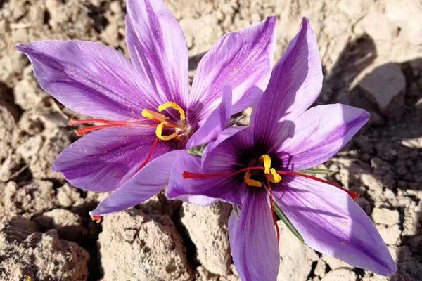 藏红花花朵图片