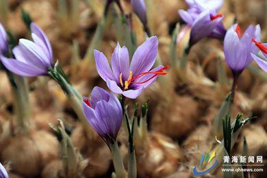 青海省民和县南垣牡丹园里的藏红花迎来采摘期