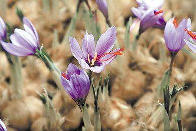 青海藏红花:开花吐蕊助增收