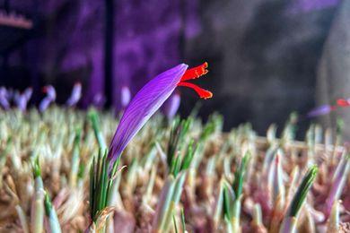 西藏林芝的藏红花开了 七成销往广东 一克能卖120元