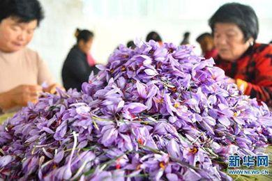 安徽亳州:藏红花开幸福路