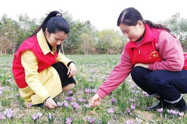 """安徽亳州大周村:""""藏红花""""产业助力村民增收"""