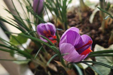 我的藏红花开了