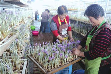 上海崇明西红花丰收 农户采摘忙