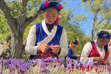 藏红花盛开 云南省迪庆格里卓生活红起来了