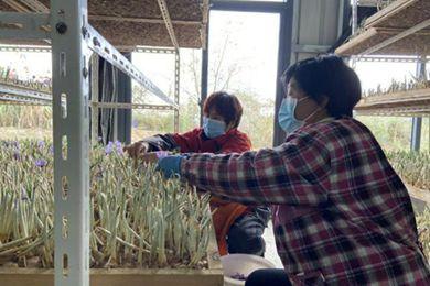 试种15亩藏红花 浙江舟山市岱山县衢山镇首个现代示范性农业庄园加紧建设