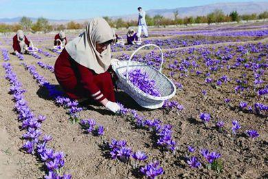 藏红花在阿富汗象征幸福与和平