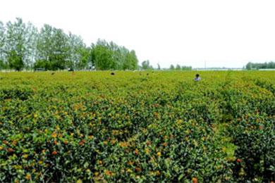 齐鲁晚报的小编将千亩红花说成藏红花