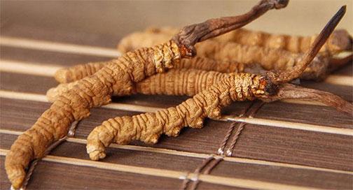冬蟲夏草怎么吃 冬蟲夏草的食用方法