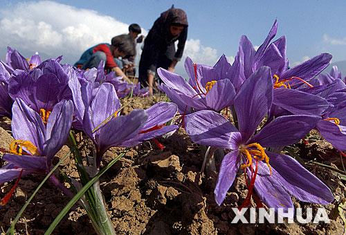 克什米爾農夫在斯利那加郊區采摘藏紅花