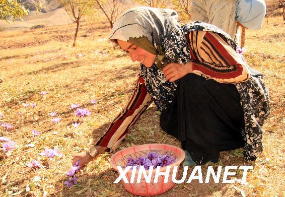 一名伊朗妇女正在采摘藏红花
