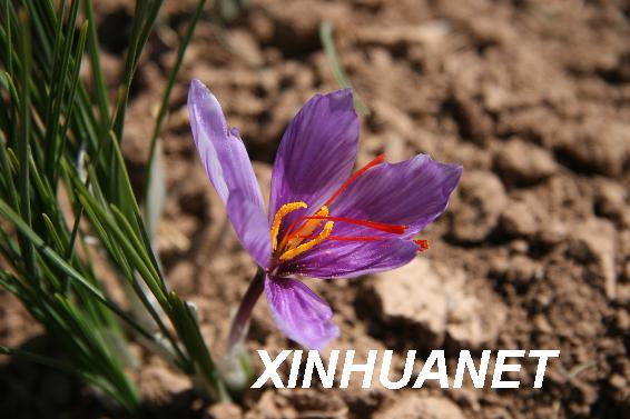 一朵正在盛开的藏红花