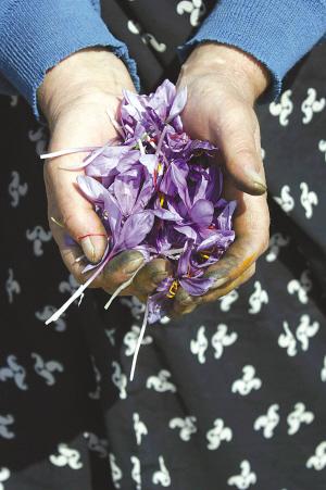 伊朗人收獲藏紅花