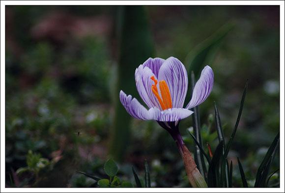 武漢植物園的番紅花