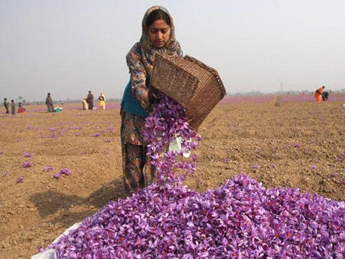 收獲藏紅花
