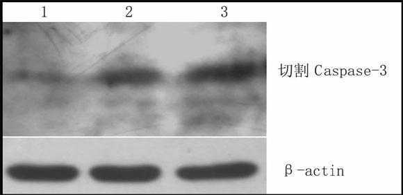 藏红花素对HeLa细胞Caspase-3的激活作用