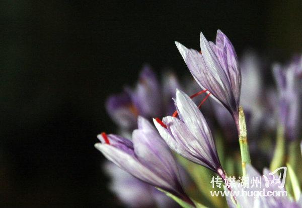 室内花房中盛开的藏红花