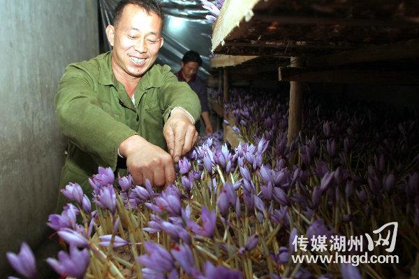 浙江湖州花農采摘藏紅花