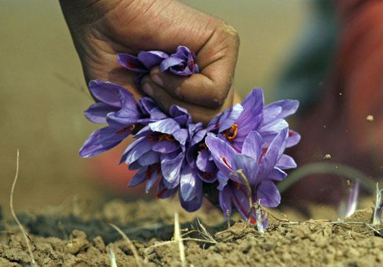 克什米爾婦女采摘藏紅花