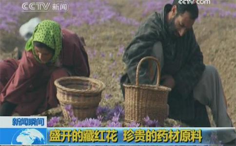 盛开的藏红花珍贵的药材原料视频截图