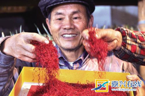 江南水乡海宁也能种出藏红花