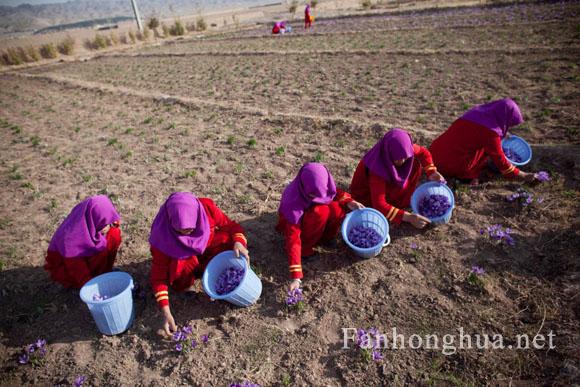 阿富汗妇女在田间采摘藏红花