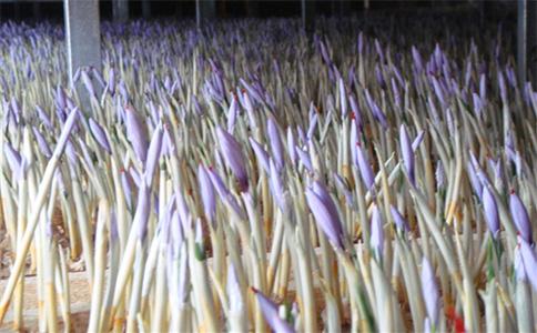泰州靖江大學生成功栽培藏紅花