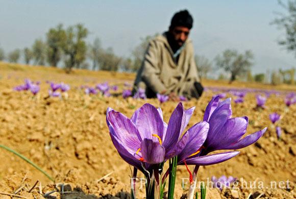 克什米爾農民耕作藏紅花