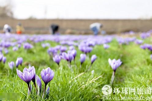 伊朗藏紅花
