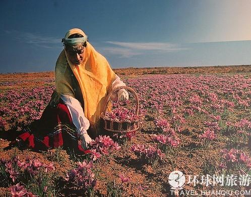 伊朗婦女采摘藏紅花