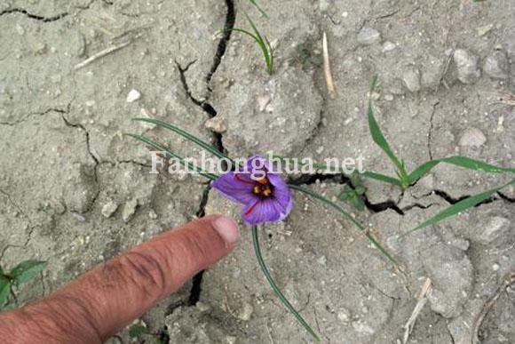 藏紅花也是阿富汗戰爭中的武器