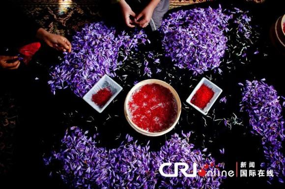 阿富汗農民正在剝藏紅花花絲