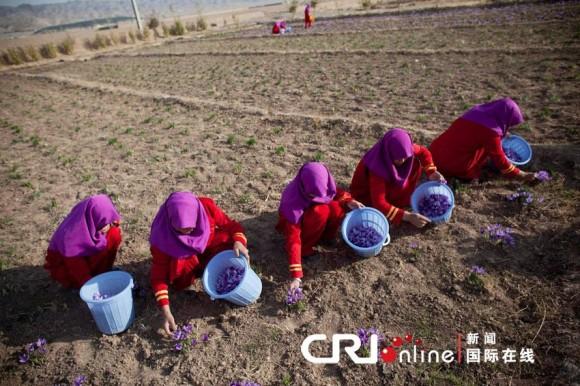 阿富汗婦女正在田間采收藏紅花花朵