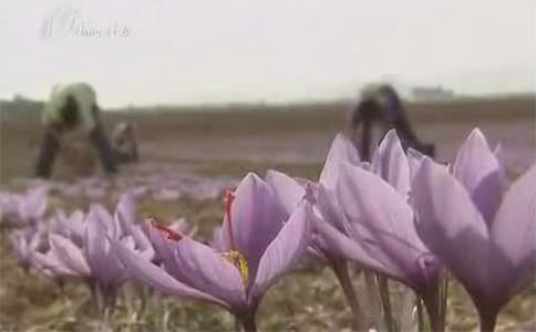 西班牙兴起藏红花种植热视频截图