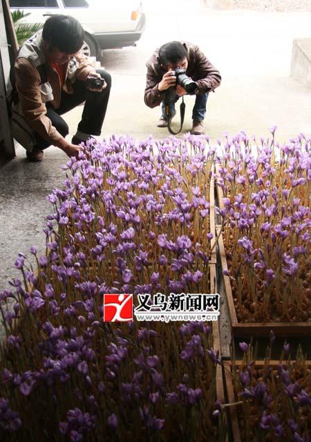 仙溪村藏紅花