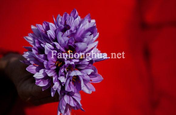 2010年11月9日阿富汗赫拉特的藏紅花