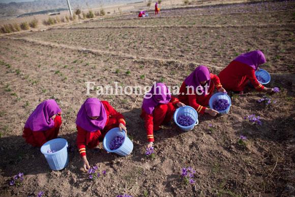 2010年11月9日阿富汗赫拉特的一個農場里工人們正在采摘藏紅花