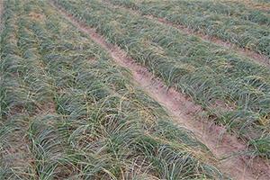藥材藏紅花優質高產栽培技術藏紅花種植技術