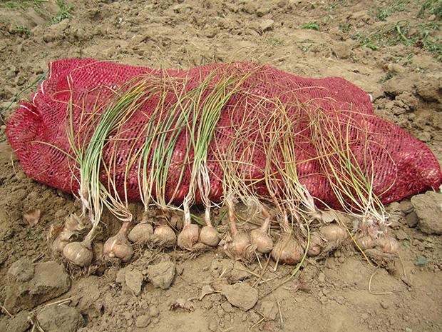 剛挖出的藏紅花球莖