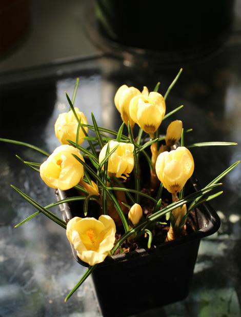 盆栽番紅花