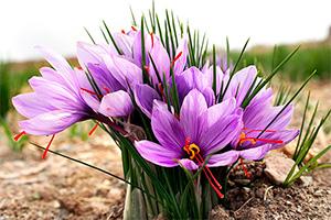 西红花是天地造化的灵物能治百病的神草